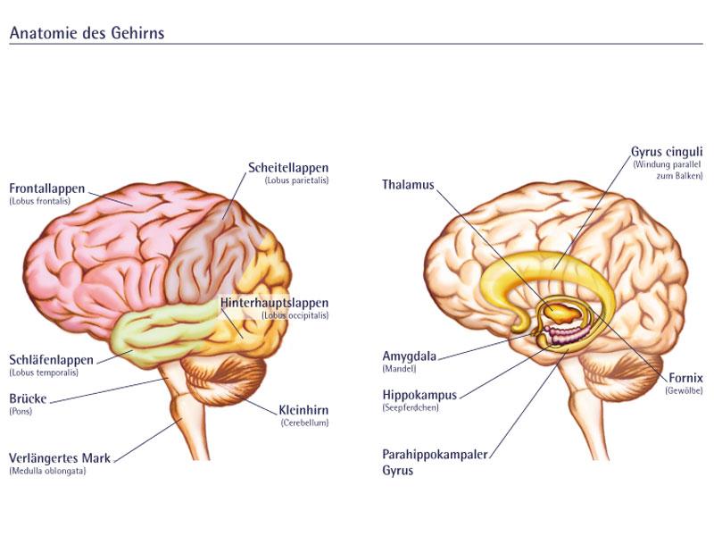 Erfreut Gehirn Anatomie Malvorlagen Ideen - Beispiel Wiederaufnahme ...