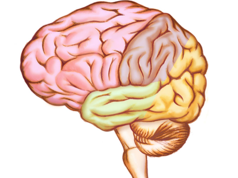 Anatomische Illustration des menschlichen Gehirns